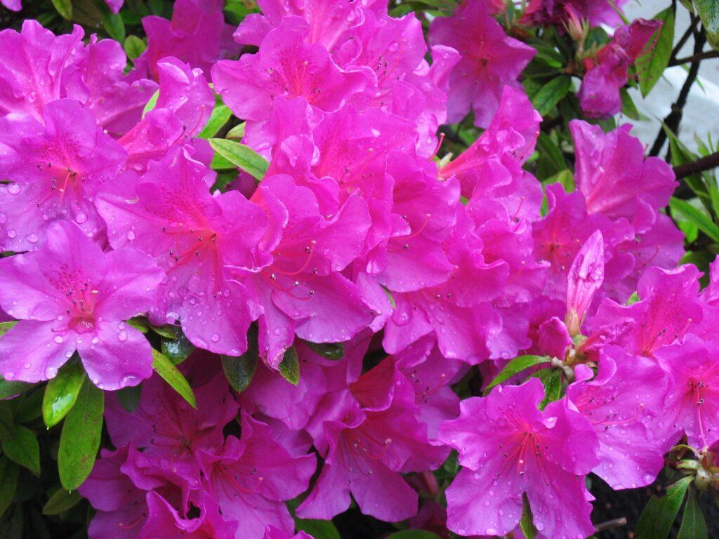 azalea flor