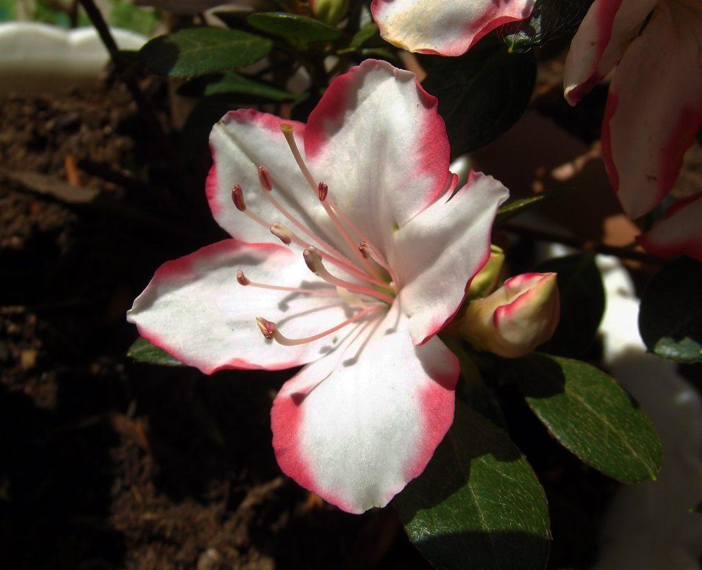 Aprende Como Y Cuando Plantar Azalea Mi Jardin