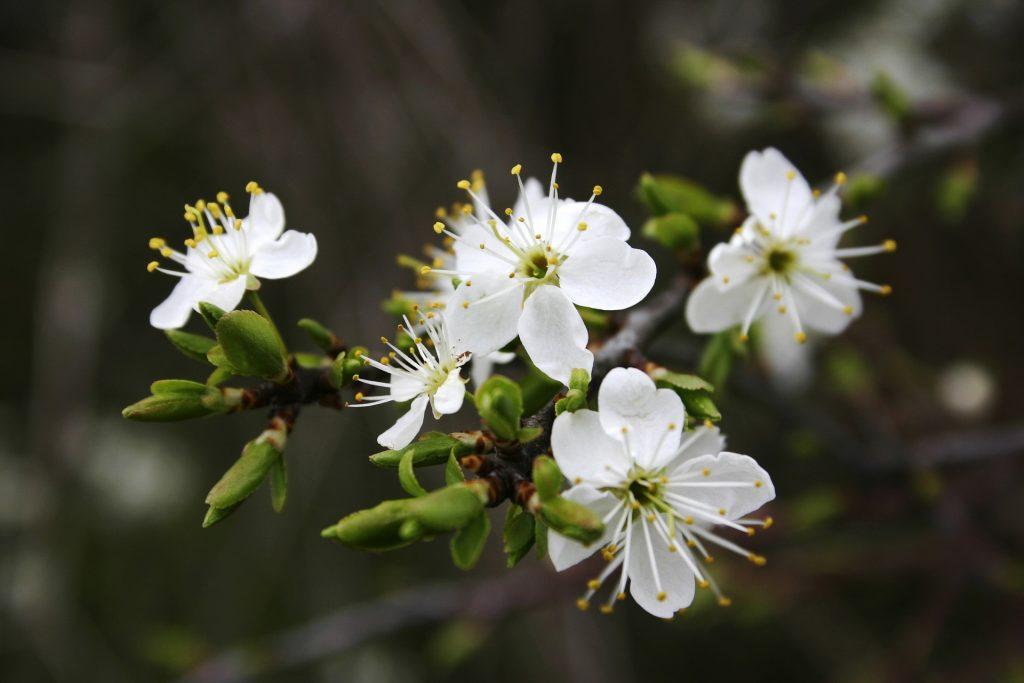 flores de jardin blancas
