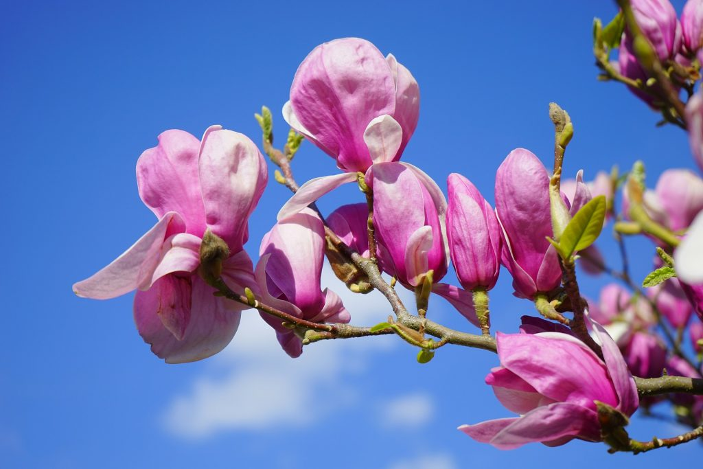 magnolia flor