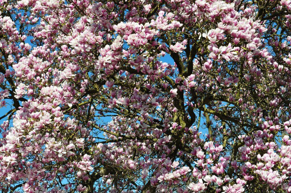 Cu ndo y c mo plantar magnolias en nuestro jard n mi - Magnolia planta cuidados ...